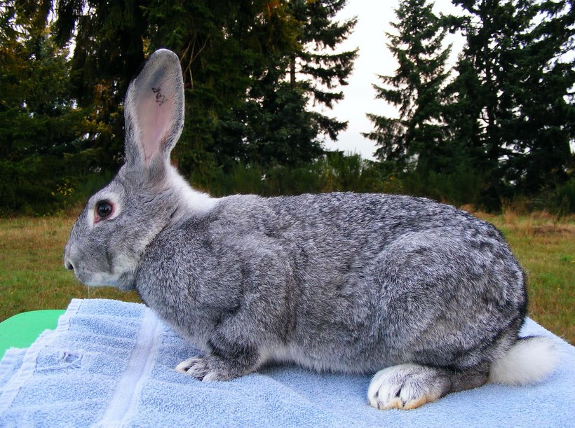 Complete Guide Of Large Rabbit Breeds